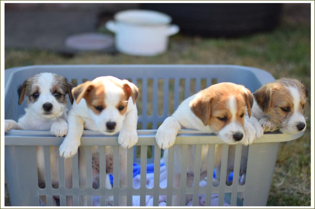 alle pups mee in de wasmand naar de speelweide..