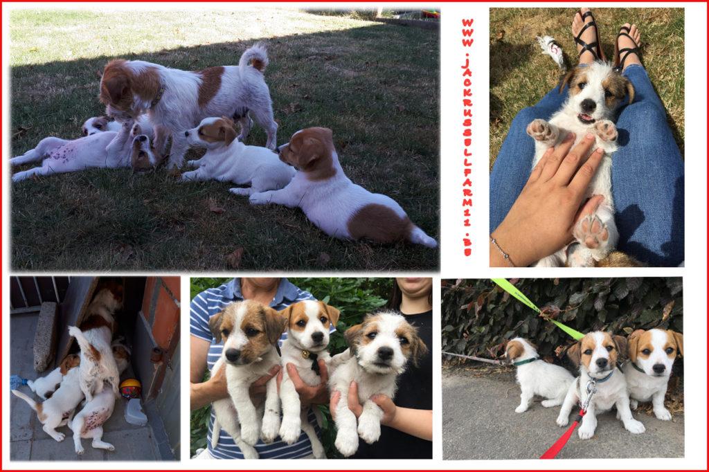 Een goede socialisatie van de pups is uiterst belangrijk in de JACKFARM DE BOSVELDEN