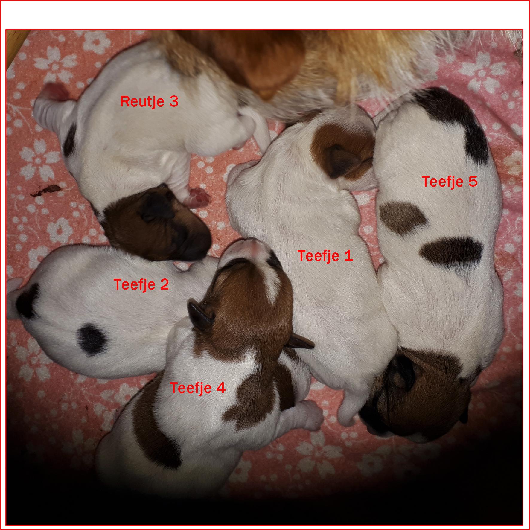 5 gezonde pups geboren op 30 03 2019 - 4 teefjes en 1 reutje Dame: Nihon Koku's Midsummer Fairy Queen en Sire/ Suzans Pride POWER